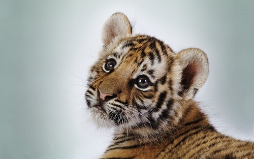 Little tigers wallpaper with a tiger cub entitled Baby Tigers