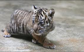 Baby Harimau