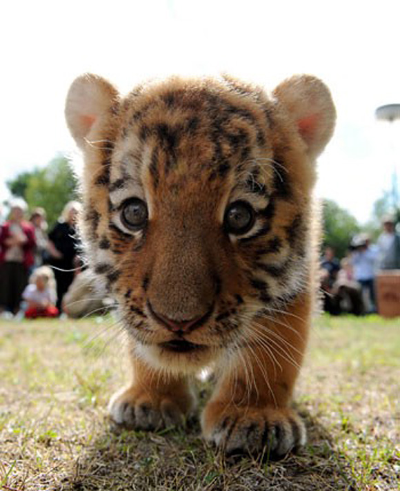 Little Tigers Images Baby Wallpaper And Background Photos