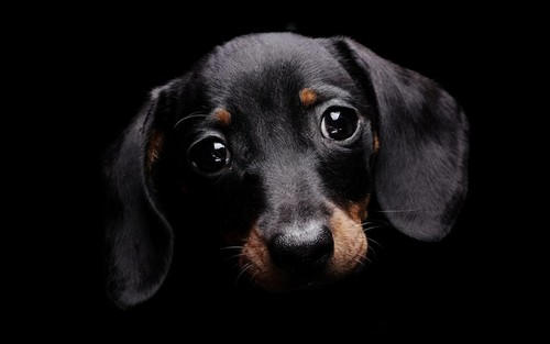 Dogs wallpaper with a black and tan coonhound entitled Cute Dog :)