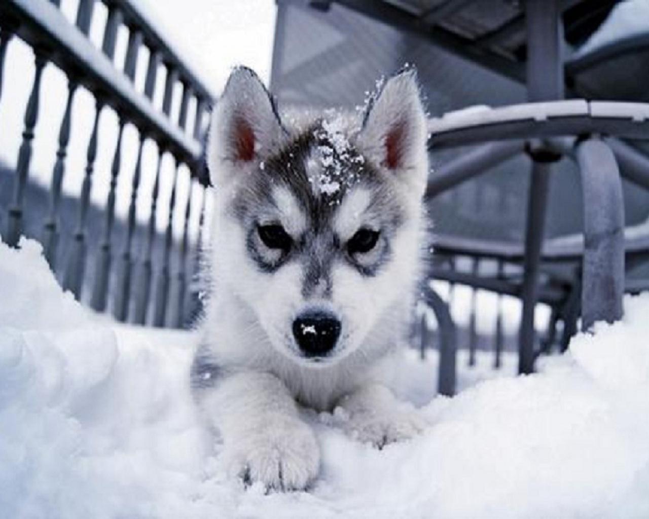 Siberien Huskies Images Huskies Hd Wallpaper And Background Photos
