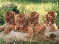 Little Tigers Wallpapers