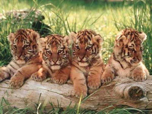 Little Harimau kertas-kertas dinding