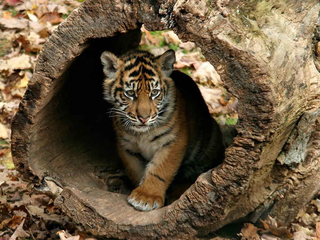 Little Tigers Images Little Tigers Wallpapers Hd Wallpaper And