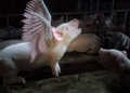 No to factory farming!!! - pigs photo