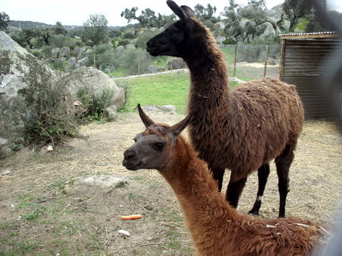 PORTUGAL, quinta pedagogica do Pedrogao do Alentejo - alpacas-and-llamas Photo
