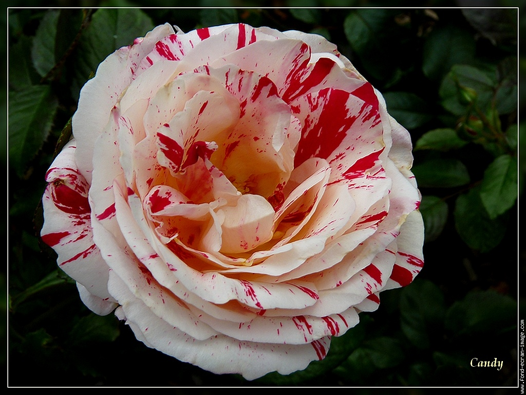 rose rouge et blanc flowers photo 33596611 fanpop - Rose Et Blanche