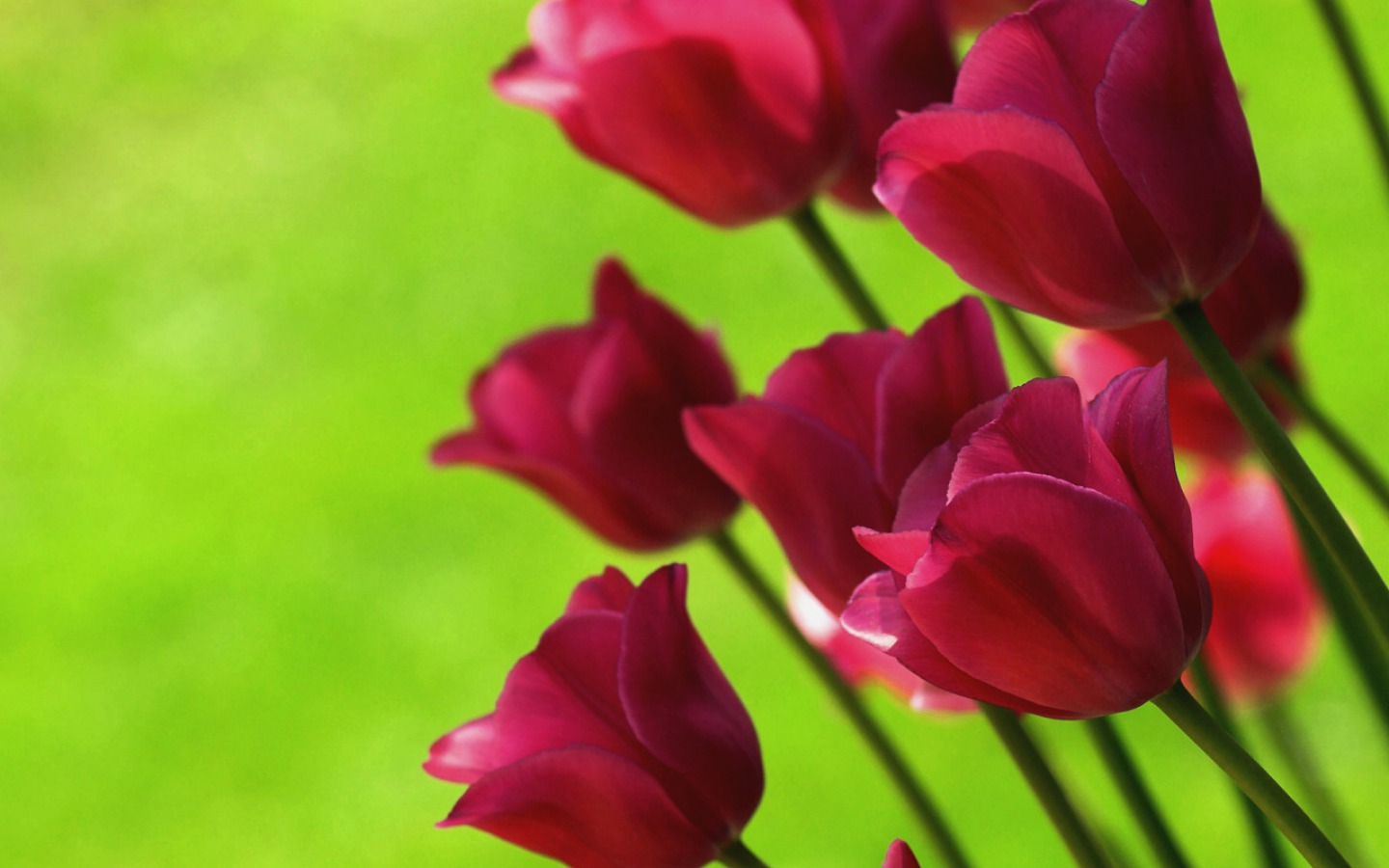 Flowers images Tulips wallpaper photos