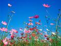 cosmos bunga