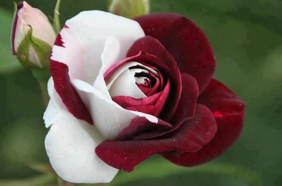 red & white rose