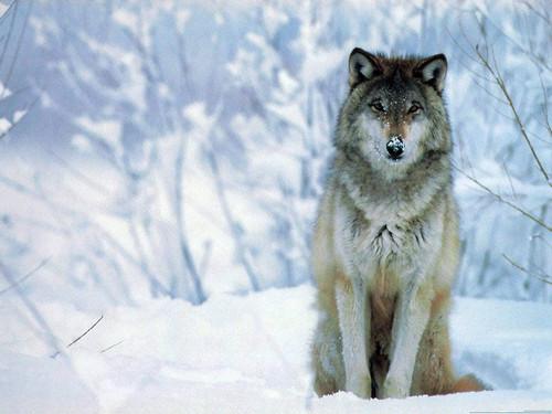 serigala pic ^_^ lol (obviouse)
