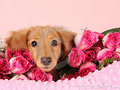 Valentines  - dogs photo