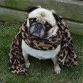 A Pug In Leopard - dogs photo