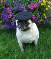 A Pug In Paris - dogs photo