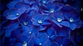 Blue 꽃