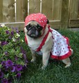 Canada Day Pug - dogs photo