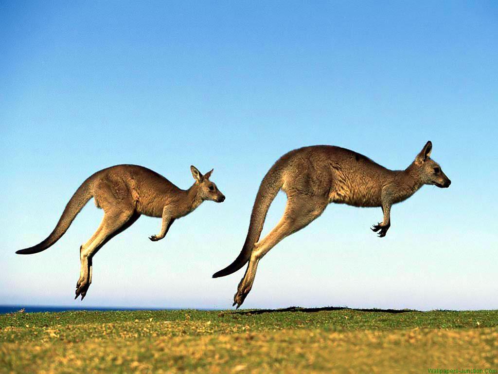 Australian animals kangaroos