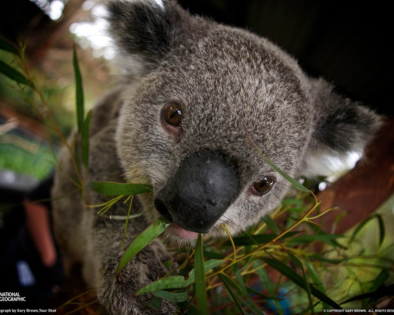 Australian Animals Images Koala Hd Wallpaper And Background Photos