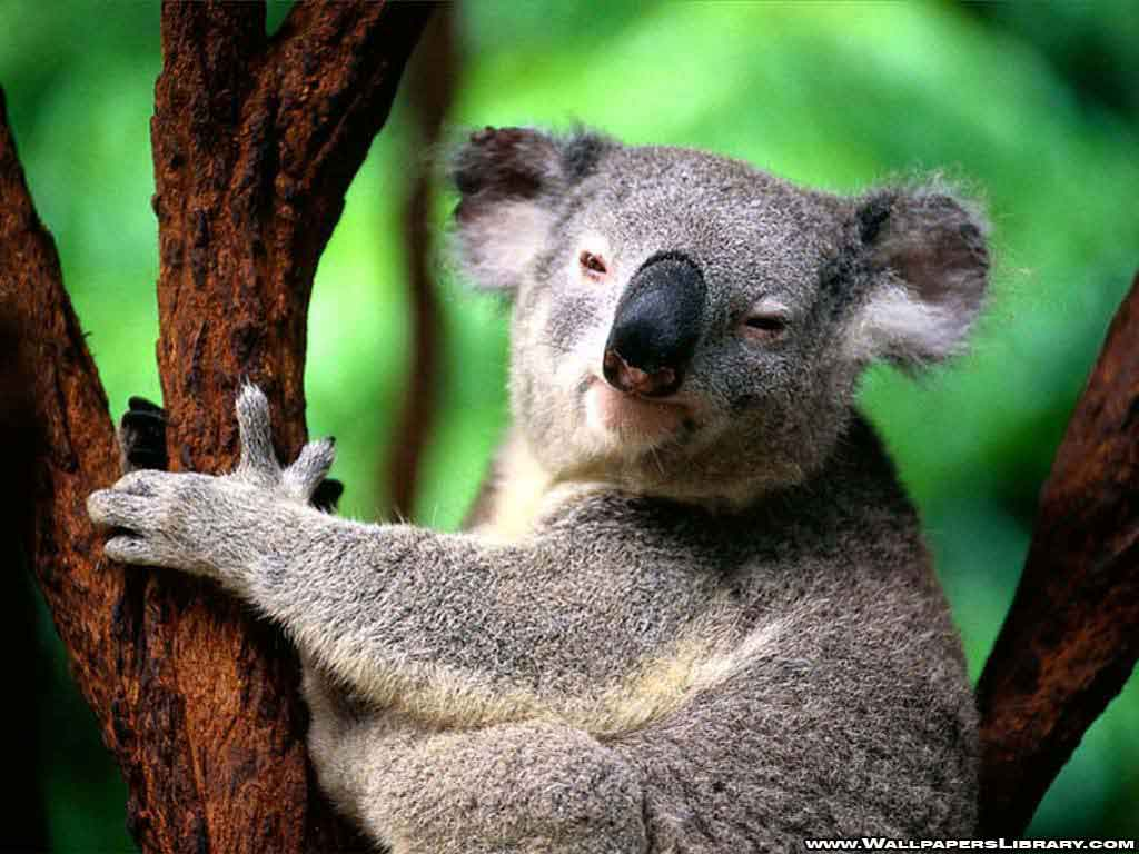 australia animals On this page you'll discover all our australian animals, but first from the cuddly-looking koala to the kicking kangaroo or crazy kookaburra, australia is home to some pretty unique animals.