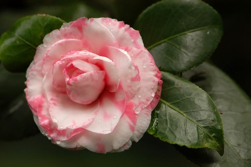 PinkRosesWallpaper