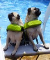 Pugs Catching Some Rays! - animal-humor photo