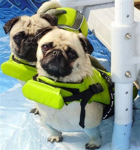 Pugs Swimming