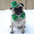 St. Patrick's Day Pug - dogs photo
