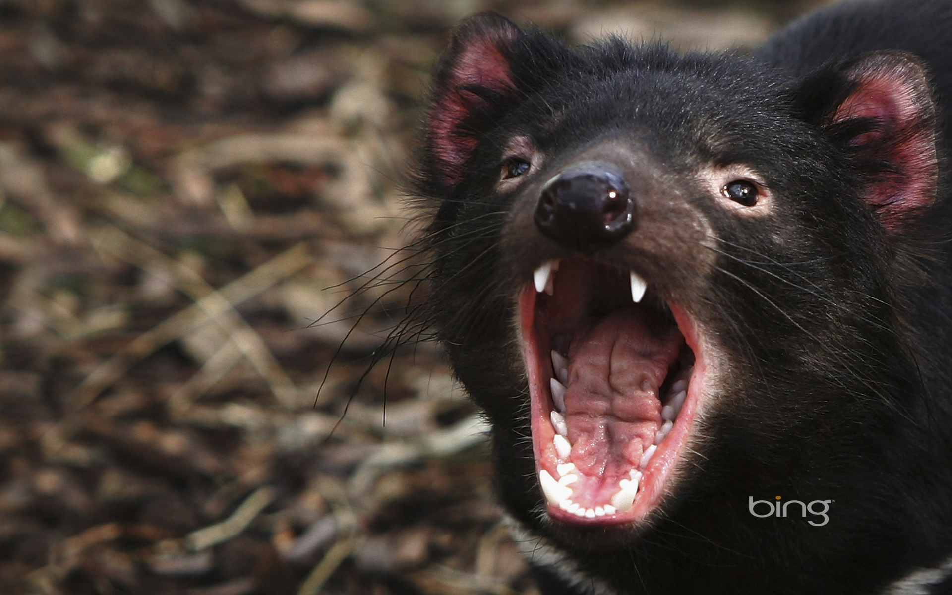 tasmanian devils Haunted by its chilling nocturnal screeches, it was the early european settlers that gave the tasmanian devil (sarcophilus harrisii) its alarming name the largest of the carnivorous marsupials, it is robustly built, with a broad head that supports powerful jaws and strong teeth capable of crushing all but the largest bones.