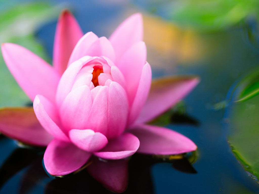 Flowers Images Water Lily Hd Wallpaper And Background Photos 33698264