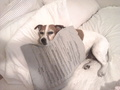 ahh! the heating pad... - jack-russell-terriers photo