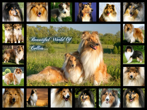 A Little Princess 壁纸 called beautiful Collies