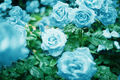 blue flower - flowers photo