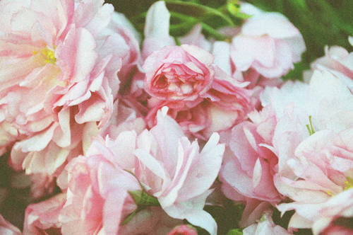 fiori wallpaper containing a rhododendron, a camellia, and a begonia called flowers-tumblr