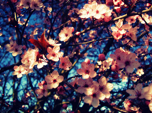 Flowers wallpaper containing a japanese plum, a japanese apricot, and a mountain laurel titled flowers-tumblr