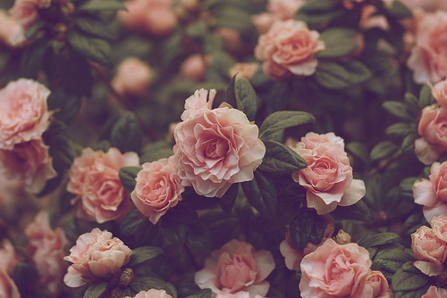 Flowers wallpaper with a begonia, a camellia, and a rose titled nature
