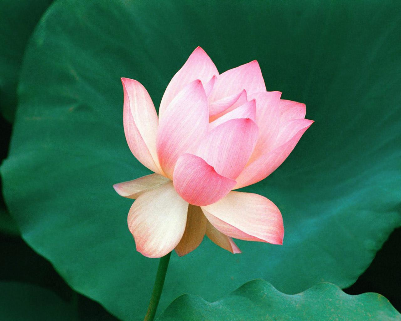 Rose flower essay in english