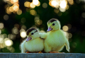 Baby Ducks  - animals photo