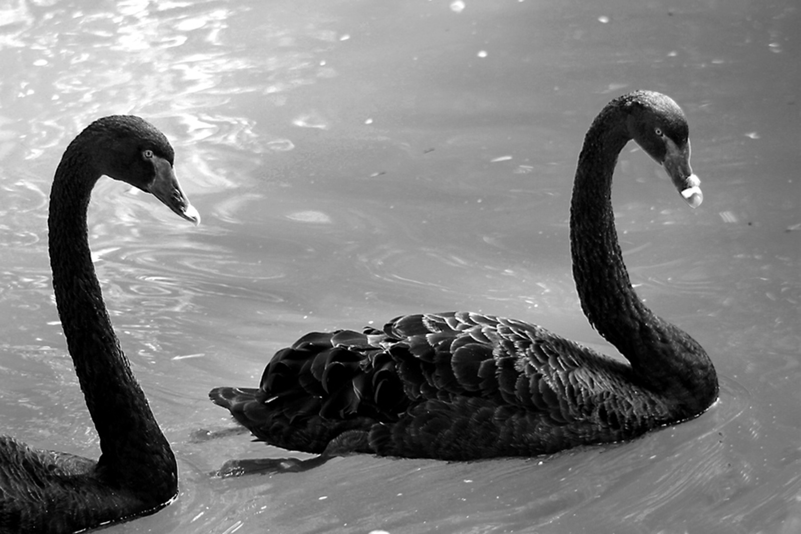 Animals Black Swans
