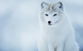 Cute Arctic Fox!