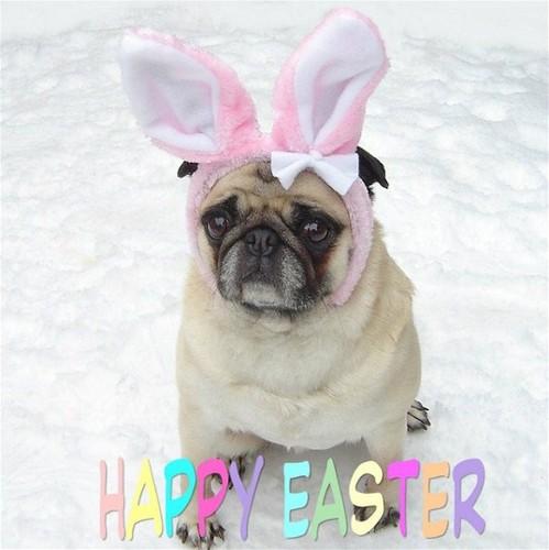 Cute Pug Easter Bunny Rabbit