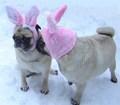 Funny Pug Easter Bunny Kiss