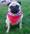 Montreal Canadians Pug Hockey Fan