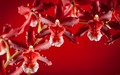 Orchids  - flowers wallpaper