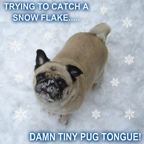 Pug Catching Snow Flakes