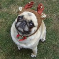 Pug Compact Reindeer
