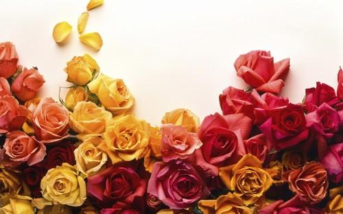 mawar