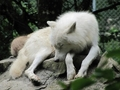 Sleepy Wolf - alpha-and-omega photo