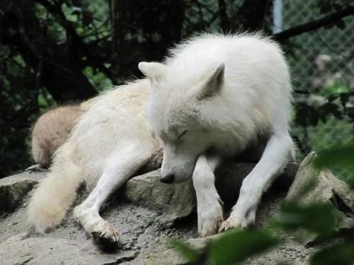 Sleepy chó sói, sói