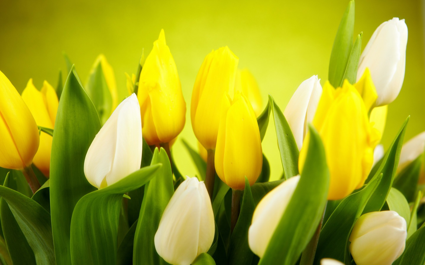 Tulips Flowers Wallpaper Fanpop