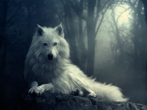 Wolves Wallpaper Entitled White Wolf